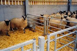even-more-sheep